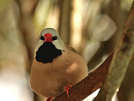 Fawn Shafttail Finch