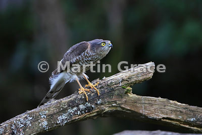 Juvenile male Eurasian Sparrowhawk (Accipiter nisus) locking on to its target before it launches its attack, Lyth Valley, Cumbria, England
