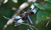 Nature Stock Photos: Blue dragonfly