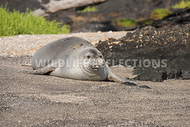 hawaiian_monk_seal_big_island_02062015-68