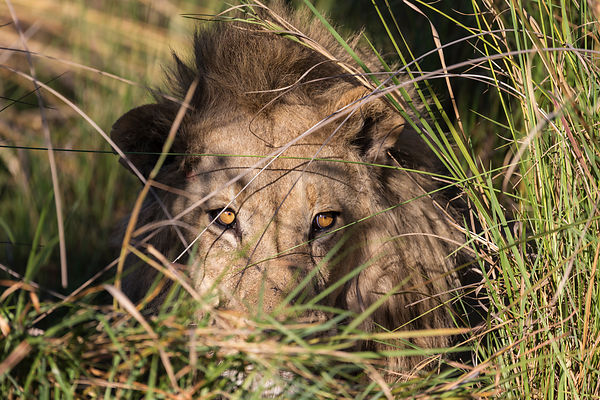 Lion Staring through Grasses