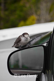 Gray Jay Coming to Car for Food
