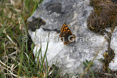 Under side of a Duke of Burgundy butterfly (Hamearis lucina) resting on limestone, Cumbria, England