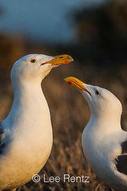 Western Gulls Pair Bonding Ritual on East Anacapa Island
