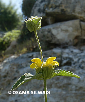 The Wildflowers of Palestine -Phlomis viscosa