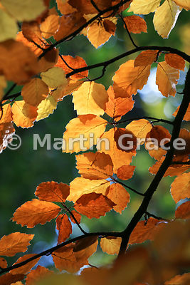 Backlit European Beech (Common Beech) (Fagus sylvatica) leaves in autumn, November 2, Swell Wood, Somerset, England