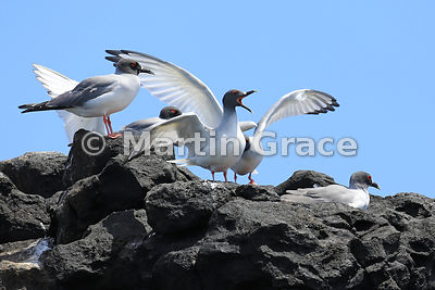Swallow-Tailed Gull (Larus furcatus), Islote Pitt, San Cristobal, Galapagos Islands