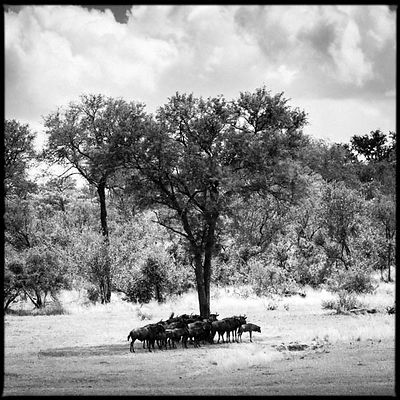 4889-Gnous_under_an_acacia_tree_Laurent_Baheux