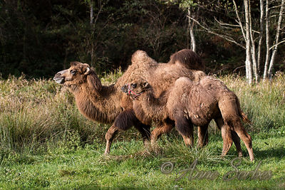 Bactrian Camels photos