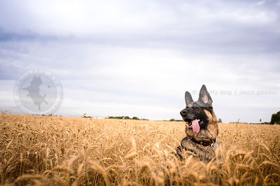 german shepherds photos