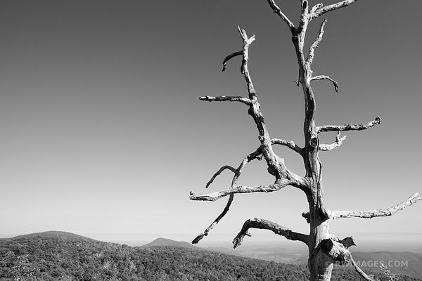 DEAD TREE SHENANDOAH VALLEY SHENANDOAH NATIONAL PARK VIRGINIA BLACK AND WHITE