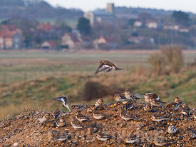 Snow Buntings Plectrophenax nivalis flock at Salthouse North Norfolk winter