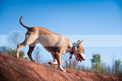 tan and white dog trotting walking on red clay ridge with sky