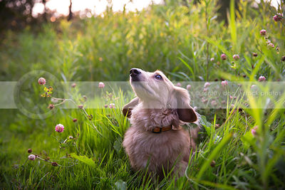 tan longhaired dachshund dog looking skyward in clover meadow in summer