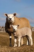 Texel ewe and young lamb. Early Spring