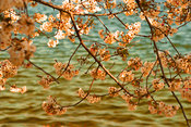 Cherry Blossoms in Art | Water with Blossoms