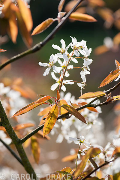 Amelanchier lamarckii. Forest Lodge, Pen Selwood, Somerset, UK