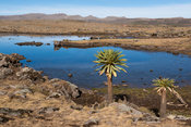 Afro-alpine moorland, Sanetti Plateau, Bale Mountains National Park, Ethiopia