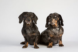 Pair of miniature dachshunds one glancing at the other