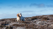 Golden Labrador gundog working on a moor during a grouse shoot. Yorkshire, UK.