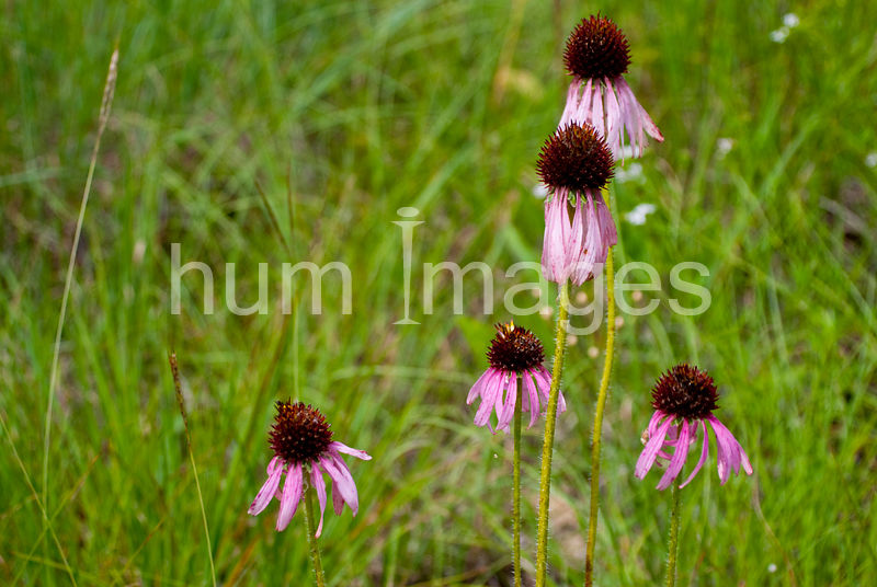 Nature Stock Photos: Purple Coneflowers in a field