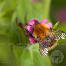COMMON CARDER BEE: