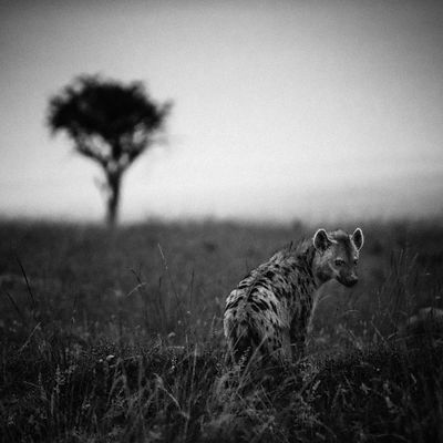 6323-Hyena_lost_in_the_savannah_Laurent_Baheux