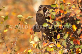 black_bear_mouthful_berries_1