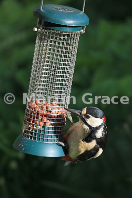Male Great Spotted Woodpecker (Dendrocopos major) feeding from a garden peanut feeder in late afternoon sunlight, Cumbria, England