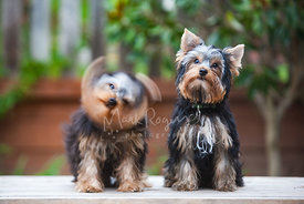 Yorkshire Terrier Shaking Head Sitting Next To Another Dog