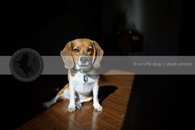 beagle dog sitting in sunshine with shadows on hardwood floor indoors