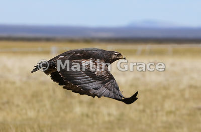 Juvenile Black-Chested Buzzard-Eagle (Geranoaetus melanoleucus) in flight, Patagonia, Chile