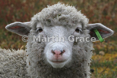 Falkland Sheep (Ovis aries), Darwin, East Falkland