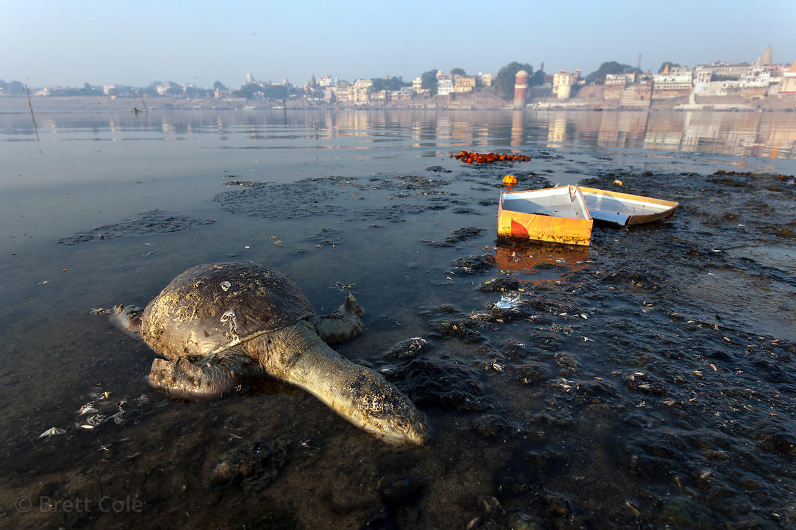 the issue of pollution of the ganges river Ganges river pollution the ganges is one of the largest rivers in asia the river flows through 30 cities with a population of over 100,000 each every day, 3 billion litres of untreated water from these big cities pass into the ganges river, along with remains of animals.