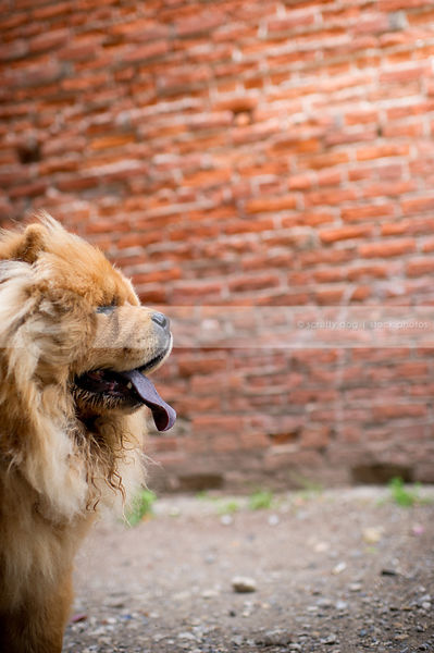 headshot of red chow  dog at brick wall in urban setting