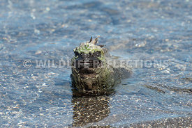 marine_iguana_waters_edge-4
