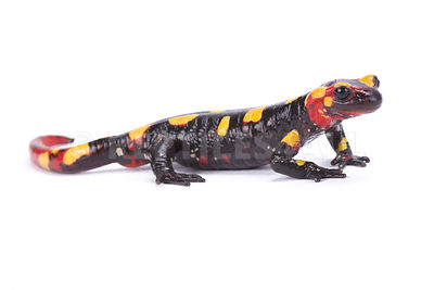 Rif mountain fire salamander (Salamandra algira splendens) photos