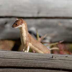 Weasel wildlife photos