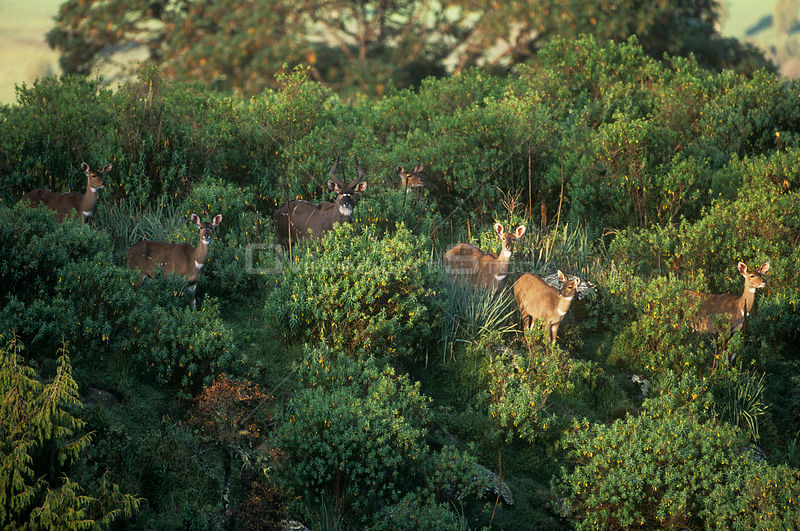 Herd of Mountain nyala {Tragelaphus buxtoni} Bale Mountains, Ethiopia, Endangered