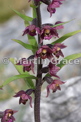 Dark Red Helleborine (Epipactis atrorubens), Whitbarrow Fell, Cumbria, England, May 26