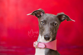 Close-up of Italian Greyhound in Studio
