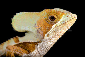 Casque-headed lizard (Corytophanes hernandezii) male