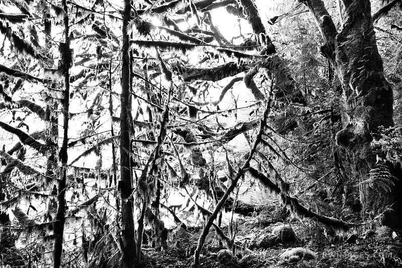 MOSS AND FERN COVERED TREES LAKE CRESCENT OLYMPIC NATIONAL PARK WASHINGTON BLACK AND WHITE