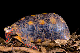 Chelonoidis carbonaria, Red-footed tortoise
