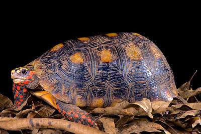 Red-footed tortoise (Chelonoides carbonaria) photos