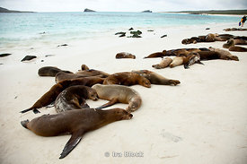 A group of sea lions take a rest on the beach of Espanola Island.