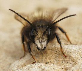 Osmia species ( to id.)