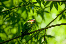 Musk Lorikeet in a tree