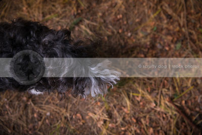 tail of curly hair dog in pine needles