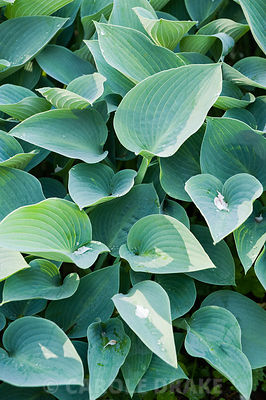 Hosta (Tardiana Group) 'Halcyon'. Windy Hall, Windermere, Cumbria, UK